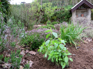 Een bosje basilicum in de tuin