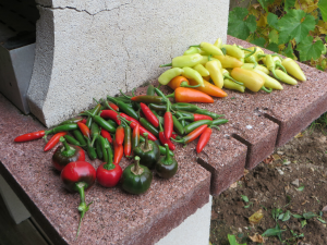 de peper oogst