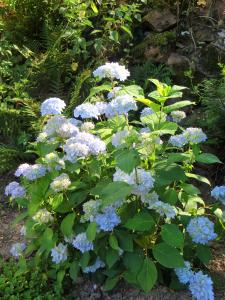 ook de andere hortentia bloeide uitbundig