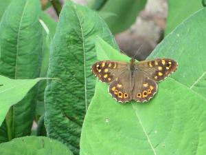Vlinders blijven mooi. Hier een bont zandoogje(Pararge aegeria)