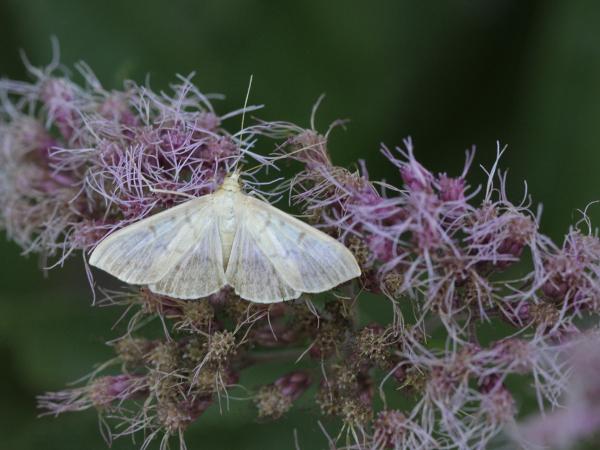 Zoveel vlinders. De parelmoermot, netelmot of gewone brandnetelmot (Pleuroptya ruralis)