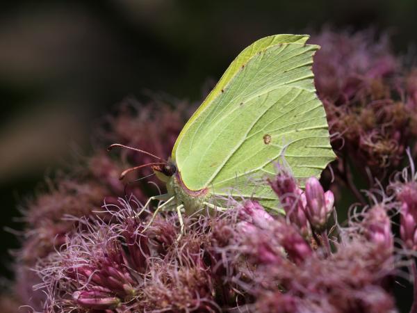 En de laatste vlinder. Een citroenvlinder (Gonepteryx rhamni)