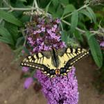 Deze vlinder zagen we volop
