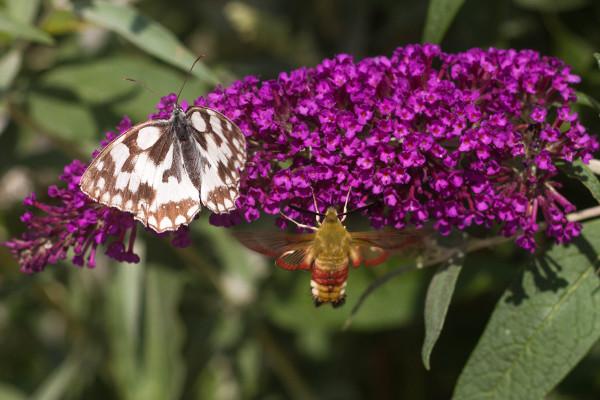 2 vlinders in 1 foto.