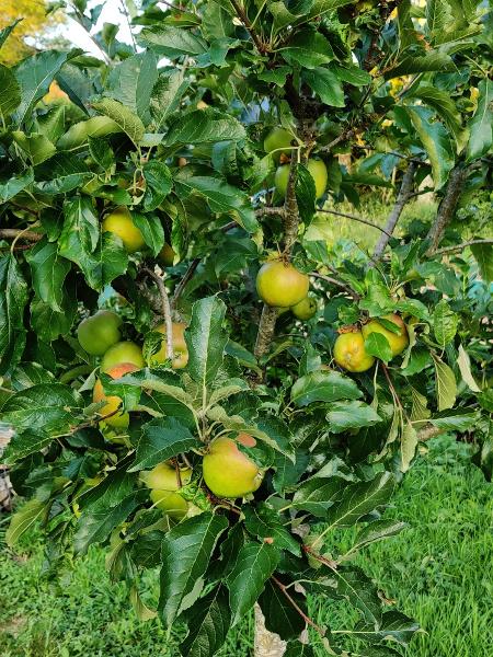 ER hingen veel appels in de bomen