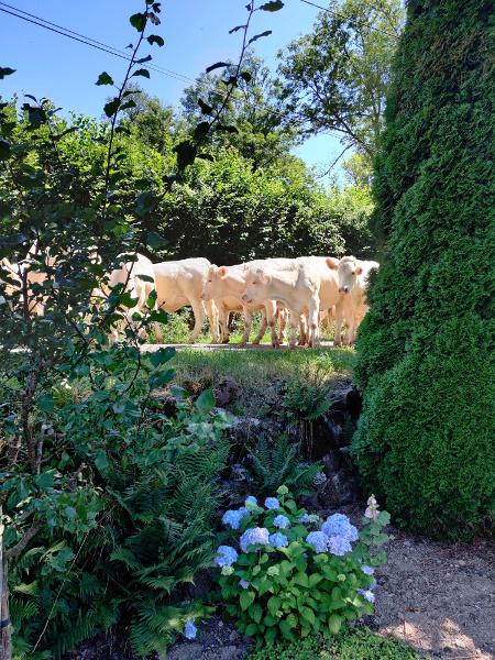 De koeien waren aan de wandel