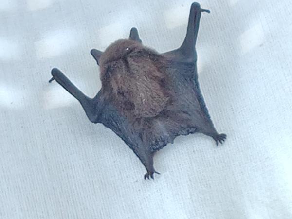 Een dode vleermuis die in de wasmand zat