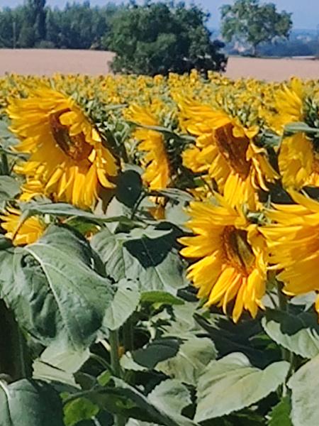 Veld zonnebloemen
