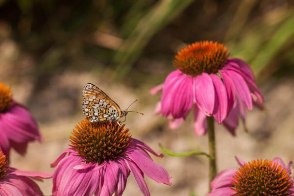 Vlinder op zonnehoed